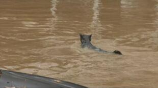 Dzielny kot nie przestraszył się wody i sam postanowił walczyć z powodzią