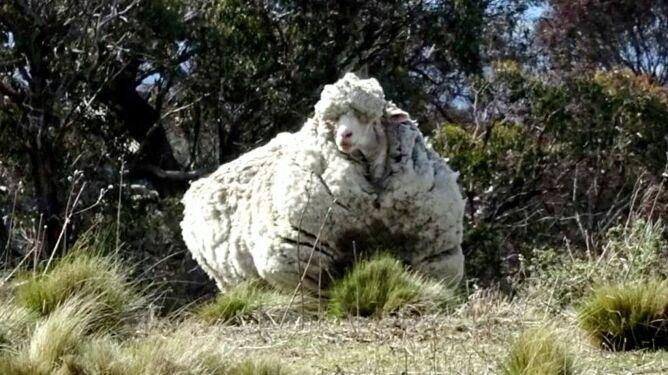 Nie żyje najbardziej <br />zarośnięta owca świata