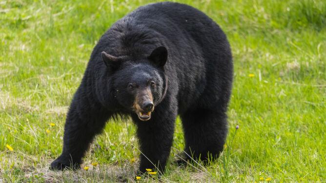 Pięciolatka w pysku niedźwiedzia. <br />Matkę obudził krzyk dziecka